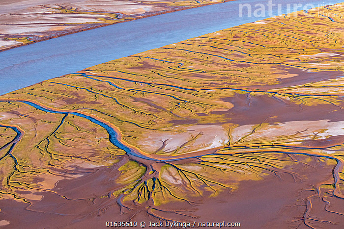 Patterns in the tidal flats of the delta where the delta is swept by tidal encroachment from the Gulf of California. Evidence of the fresh water flow is observable as plant life turns green. Colorado River Delta, Baja California, Mexico. September 2019. Aerial support by LightHawk.  ,  Colour,Green,Pattern,Latin America,Central America,Mexico,Aerial View,High Angle View,Flowing Water,River,Tide,Tides,Coast,Freshwater,Coastal,Water,Elevated view,Delta,Deltas,Tidal,Dendritic,Baja California Peninsula,  ,  Jack Dykinga