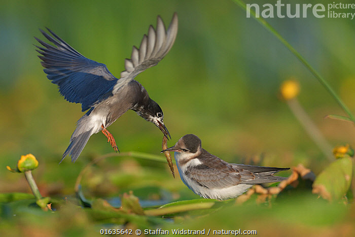 Black tern (Chlidonias nigra) flying in to feed its chick on tfloating vegetation in the Nemunas Delta Nature Reserve, Lithuania.  ,  Europe,Eastern Europe,East Europe,Baltic Countries,Lithuania,Wetland,Reserve,Protected area,Catalogue13,Catalogue13  ,  Staffan Widstrand
