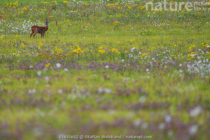 Roe deer buck (Capreolus capreolus) in a flowering meadow, Nemunas Delta Nature Reserve, Lithuania.  ,  Europe,Eastern Europe,East Europe,Baltic Countries,Lithuania,Wetland,Reserve,Protected area,  ,  Staffan Widstrand
