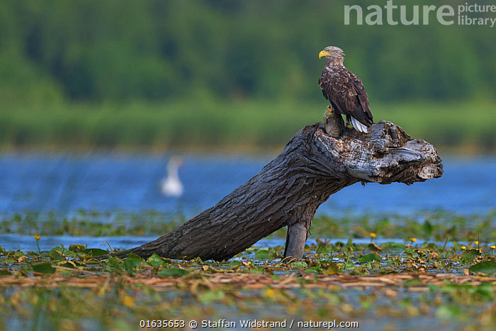 White-tailed eagle (Haliaeetus albicilla) Nemunas Delta Nature Reserve, Lithuania.  ,  Animal,Wildlife,Vertebrate,Bird,Birds,Sea eagle,White tailed sea eagle,Animalia,Animal,Wildlife,Vertebrate,Aves,Bird,Birds,Accipitriformes,Accipitridae,Haliaeetus,Sea eagle,Eagle,Bird of prey,Raptor,Haliaeetus albicilla,White tailed sea eagle,White tailed eagle,Europe,Eastern Europe,East Europe,Baltic Countries,Lithuania,Wetland,Reserve,Protected area,Birds of Prey,  ,  Staffan Widstrand