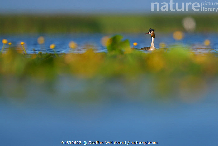 Great Crested Grebe (Podiceps cristatus) Nemunas Delta Nature Reserve, Lithuania.  ,  Animal,Wildlife,Vertebrate,Bird,Birds,Grebe,Great crested grebe,Wildfowl,Water fowl,Animalia,Animal,Wildlife,Vertebrate,Aves,Bird,Birds,Podicipediformes,Podicipedidae,Grebe,Podiceps,Podiceps cristatus,Great crested grebe,Europe,Eastern Europe,East Europe,Baltic Countries,Lithuania,Wetland,Reserve,Protected area,Waterfowl,Wildfowl,Water fowl,  ,  Staffan Widstrand