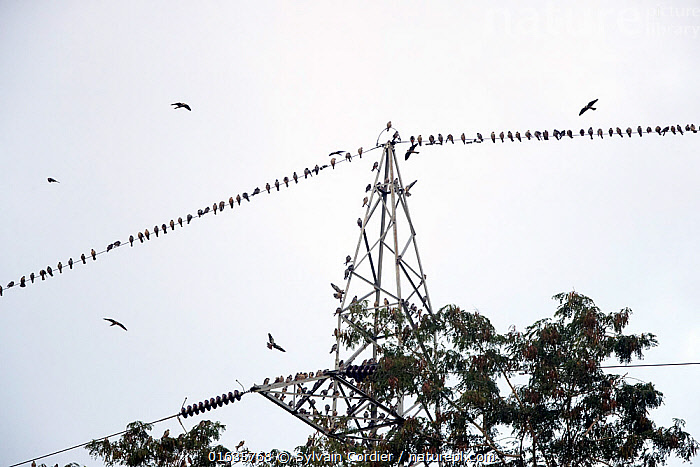 Amur falcons (Falco amurensis) perched on electrical wire during migration, Nagaland, India. October.  ,  Animal,Wildlife,Vertebrate,Bird,Birds,Birds of prey,Falcon,Eastern red footed falcon,Animalia,Animal,Wildlife,Vertebrate,Aves,Bird,Birds,Falconiformes,Birds of prey,Raptor,Falconidae,Falco,Falcon,Falco amurensis,Eastern red footed falcon,Amur falcon,Manchurian red footed falcon,Amur Red footed falcon,Migration,Flying,Group Of Animals,Flock,Group,Asia,Indian Subcontinent,India,Infrastructure,Energy Infrastructure,Energy Infrastructures,Electrical Tower,Wire,Animal Behaviour,Behaviour,Nagaland,Electrical Wire,Behavioural,  ,  Sylvain Cordier