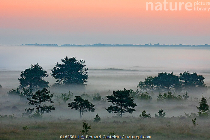 Trees in mist covered landscape, at dawn. Groot Schietveld, Wuustwezel, Belgium. July 2005.  ,  Europe,Western Europe,Belgium,Copy Space,Plant,Tree,Mist,Landscape,Dawn,Negative space,Wuustwezel,  ,  Bernard Castelein