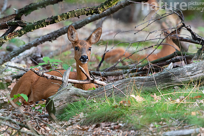 Roe deer (Capreolus capreolus) doe sitting amongst logs. Peerdsbos, Brasschaat, Belgium. July., Animal,Wildlife,Vertebrate,Mammal,Deer,Roe deer,Animalia,Animal,Wildlife,Vertebrate,Mammalia,Mammal,Artiodactyla,Even-toed ungulates,Cervidae,Deer,True deer,ruminantia,Ruminant,Capreolus,Roe deer,Capreolus capreolus,Sitting,Lying down,Resting,Rest,Europe,Western Europe,Belgium,Female animal,Doe,Does,Brasschaat,Hind,Hinds,, Bernard Castelein