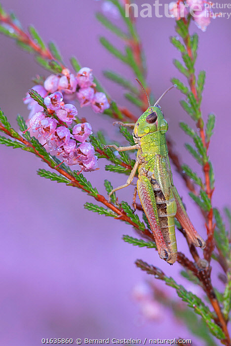 Meadow grasshopper (Pseudochorthippus parallelus) on Common heather (Calluna vulgaris), covered in dew droplets. Klein Schietveld, Brasschaat, Belgium. August.  ,  Plant,Vascular plant,Flowering plant,Asterid,Ling,Animal,Wildlife,Arthropod,Insect,Orthopterida,Grasshopper,Plantae,Plant,Tracheophyta,Vascular plant,Magnoliopsida,Flowering plant,Angiosperm,Seed plant,Spermatophyte,Spermatophytina,Angiospermae,Ericales,Asterid,Dicot,Dicotyledon,Asteranae,Ericaceae,Calluna,Calluna vulgaris,Ling,Common heather,Erica vulgaris,Erica herbacea,Calluna elegantissima,Animalia,Animal,Wildlife,Hexapoda,Arthropod,Invertebrate,Hexapod,Arthropoda,Insecta,Insect,Orthoptera,Orthopterida,Acrididae,Grasshopper,Short horned grasshopper,Acrid,Acridoidea,Caelifera,Colour,Green,Purple,Europe,Western Europe,Belgium,Flower,Liquid,Liquids,Droplet,Drips,Drop,Droplets,Drops,Dew,Summer,Water,Brasschaat,Klein Schietveld,Water Droplet,Pseudochorthippus,Catalogue13,Pseudochorthippus parallelus,Meadow grasshopper,Ericaceous,Catalogue13  ,  Bernard Castelein