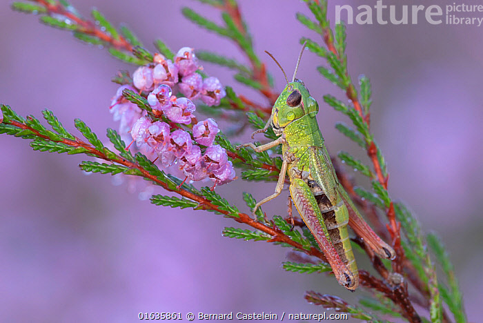Meadow grasshopper (Pseudochorthippus parallelus) on Common heather (Calluna vulgaris), covered in dew droplets. Klein Schietveld, Brasschaat, Belgium. August.  ,  Animal,Wildlife,Arthropod,Insect,Orthopterida,Grasshopper,Animalia,Animal,Wildlife,Hexapoda,Arthropod,Invertebrate,Hexapod,Arthropoda,Insecta,Insect,Orthoptera,Orthopterida,Acrididae,Grasshopper,Short horned grasshopper,Acrid,Acridoidea,Caelifera,Europe,Western Europe,Belgium,Plant,Flower,Liquid,Liquids,Droplet,Drips,Drop,Droplets,Drops,Dew,Water,Brasschaat,Water Droplet,Pseudochorthippus,Pseudochorthippus parallelus,Meadow grasshopper,  ,  Bernard Castelein