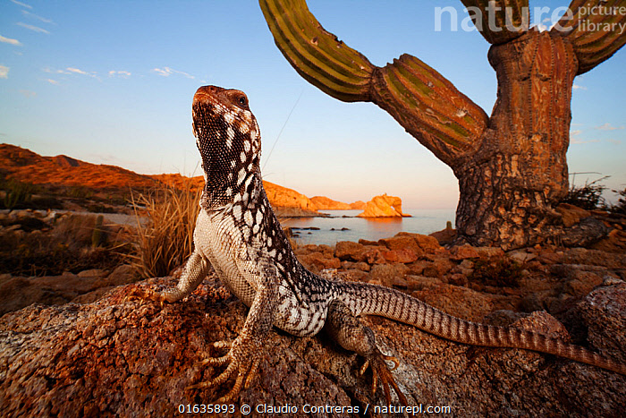 Catalina Desert Iguana (Dipsosaurus catalinensis), Catalana (Santa Catalina) Island, Loreto Bay National Park, Gulf of California (Sea of Cortez), Baja California, Mexico, May, Second place in Visions of our Nature, organized by Mexico's National Biodiversity Commission 2019, Animal,Wildlife,Vertebrate,Reptile,Squamate,Iguana,Desert iguanas,American,Catalina Desert Iguana,Animalia,Animal,Wildlife,Vertebrate,Reptilia,Reptile,Squamata,Squamate,Iguanidae,Iguana,Lizard,Dipsosaurus,Desert iguanas,North America,USA,Western USA,Southwest USA,California,Plant,Succulent,Succulents,Cactus,Cacti,Reserve,Competition winner,Protected area,National Park,American,United States of America,Photography award,Catalogue13,Dipsosaurus catalinensis,Catalina Desert Iguana,Catalogue13, Competition winners 2019.,,competition winners 2019,, Claudio  Contreras