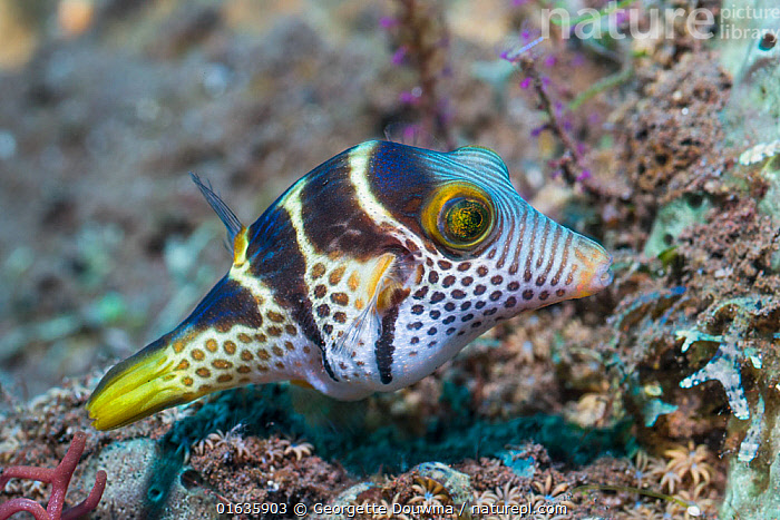 Valentini's sharp nosed puffer or Black-saddled toby (Canthigaster valentini). Tulamben, Bali, Indonesia.  ,  Animal,Wildlife,Vertebrate,Ray-finned fish,Plectognathi,Pufferfish,Valentine&#39,s sharpnose pufferfish,Animalia,Animal,Wildlife,Vertebrate,Actinopterygii,Ray-finned fish,Osteichthyes,Bony fish,Fish,Tetraodontiformes,Plectognathi,Tetraodontidae,Pufferfish,Puffer,Canthigaster,Canthigaster valentini,Valentine&#39,s sharpnose pufferfish,Tetraodon valentini,Tetraodon gronovii,Tetrodon taeniatus,Asia,South East Asia,Indonesia,Bali Island,Tropical,Ocean,Pacific Ocean,Marine,Underwater,Water,Indo Pacific,Saltwater,Biodiversity hotspot,Marine  ,  Georgette Douwma