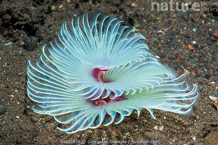 Filter feeding appendages of a Feather duster worm - Sabellidae, extending from the sand. Tulamben, Bali, Indonesia.  ,  Animal,Wildlife,Annelid,Polychaete,Tube worm,Feather duster worm,Animalia,Animal,Wildlife,Annelida,Annelid,Annelid worms,Polychaeta,Polychaete,Bristleworm,Bristle worm,Sabellida,Tube worm,Sabellidae,Feather duster worm,Asia,South East Asia,Indonesia,Bali Island,Tropical,Ocean,Pacific Ocean,Marine,Underwater,Water,Indo Pacific,Saltwater,Biodiversity hotspot,Invertebrate,Invertebrates,Marine  ,  Georgette Douwma