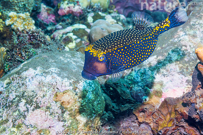 Spotted boxfish or trunkfish (Ostracion meleagris). Tulamben, Bali, Indonesia.  ,  Animal,Wildlife,Vertebrate,Ray-finned fish,Plectognathi,Trunkfish,Spotted trunkfish,Animalia,Animal,Wildlife,Vertebrate,Actinopterygii,Ray-finned fish,Osteichthyes,Bony fish,Fish,Tetraodontiformes,Plectognathi,Ostraciidae,Ostracion,Trunkfish,Ostracion meleagris,Spotted trunkfish,Whitespotted boxfish,Blue-spotted boxfish,Ostracion meleagris meleagris,Ostracion lentiginosus,Ostracion punctatus,Asia,South East Asia,Indonesia,Bali Island,Tropical,Ocean,Pacific Ocean,Marine,Underwater,Water,Indo Pacific,Saltwater,Biodiversity hotspot,Marine  ,  Georgette Douwma