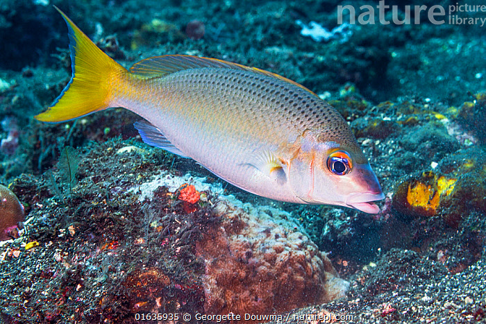Peters' monocle bream (Scolopsis affinis). Tulamben, Bali, Indonesia.  ,  Asia,South East Asia,Indonesia,Bali Island,Profile,Side View,Tropical,Ocean,Pacific Ocean,Marine,Underwater,Water,Indo Pacific,Saltwater,Biodiversity hotspot,  ,  Georgette Douwma