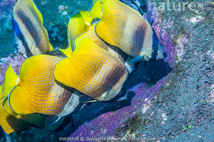 Klein's butterflyfish (Chaetodon kleinii) feeding on Sergeant major eggs. Bali, Indonesia.  ,  Animal,Wildlife,Vertebrate,Ray-finned fish,Percomorphi,Butterflyfish,Blacklip Butterflyfish,Animalia,Animal,Wildlife,Vertebrate,Actinopterygii,Ray-finned fish,Osteichthyes,Bony fish,Fish,Perciformes,Percomorphi,Acanthopteri,Chaetodontidae,Butterflyfish,Chaetodon,Chaetodon kleinii,Blacklip Butterflyfish,Brown Butterflyfish,Klein&#39,s Butterfly,Klein&#39,s Butterflyfish,Klein's Butterfly Fish,Klein&#39,s Coralfish,Sunburst Butterflyfish,Whitespotted Butterflyfish,Yellowspot Butterflyfish,Chaetodon cingulatus,Chaetodon corallicola,Chaetodon kleini,Colour,Yellow,Asia,South East Asia,Indonesia,Bali Island,Tropical,Ocean,Pacific Ocean,Marine,Underwater,Water,Indo Pacific,Saltwater,Biodiversity hotspot,Marine  ,  Georgette Douwma