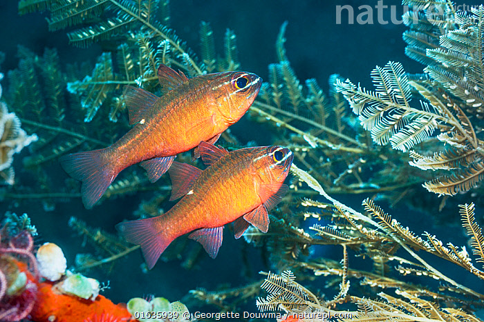 Moluccan cardinalfish (Ostorhinchus moluccensis) next to hydroids. Tulamben, Bali, Indonesia.  ,  Animal,Wildlife,Vertebrate,Ray-finned fish,Percomorphi,Cardinalfish,Animalia,Animal,Wildlife,Vertebrate,Actinopterygii,Ray-finned fish,Osteichthyes,Bony fish,Fish,Perciformes,Percomorphi,Acanthopteri,Apogonidae,Cardinalfish,Two,Asia,South East Asia,Indonesia,Bali Island,Tropical,Reef,Reefs,Coral Reef,Coral Reefs,Ocean,Pacific Ocean,Marine,Underwater,Water,Indo Pacific,Saltwater,Biodiversity hotspot,Ostorhinchus,Ostorhinchus moluccensis,  ,  Georgette Douwma
