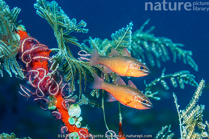 Moluccan cardinalfish (Ostorhinchus moluccensis) next to hydroids, brittlestars and sea squirts.  Tulamben, Bali, Indonesia.  ,  Animal,Wildlife,Cnidarian,Hydrozoan,Echinoderm,Brittle star,Chordate,Sea squirt,Vertebrate,Ray-finned fish,Percomorphi,Cardinalfish,Catalogue13,Animalia,Animal,Wildlife,Cnidaria,Cnidarian,Coelentrerata,Hydrozoa,Hydrozoan,Hydroid,Echinodermata,Echinoderm,Ophiuroidea,Brittle star,Brittlestar,Invertebrate Chordata,Chordate,Invertebrate,Chordata,Ascidiacea,Sea squirt,Ascidian,Tunicate,Tunicata,Vertebrate,Actinopterygii,Ray-finned fish,Osteichthyes,Bony fish,Fish,Perciformes,Percomorphi,Acanthopteri,Apogonidae,Cardinalfish,Two,Asia,South East Asia,Indonesia,Bali Island,Tropical,Reef,Reefs,Coral Reef,Coral Reefs,Ocean,Pacific Ocean,Marine,Underwater,Water,Mixed species,Indo Pacific,Saltwater,Biodiversity hotspot,Biodiversity,Ostorhinchus,Catalogue13,Ostorhinchus moluccensis,Animals,Cnidarians,Hydrozoans,Hydroids,Brittle stars,Brittlestars,Chordates,Inverebrates,Sea squirts,Ascidians,Tunicates,Vertebrates,Ray-finned fishes,Bony fishes,Fishes,Cardinalfishes,Oceans,Hotspots,Animal,Wildlife,Cnidarian,Hydrozoan,Echinoderm,Brittle star,Chordate,Sea squirt,Vertebrate,Ray-finned fish,Percomorphi,Cardinalfish  ,  Georgette Douwma