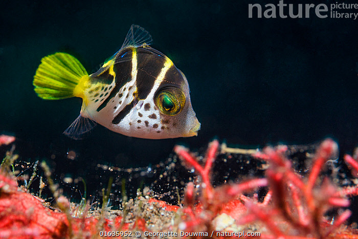 Juvenile Mimic leatherjacket or Blacksaddle mimic (Paraluteres prionurus). Bali, Indonesia.  ,  Animal,Wildlife,Vertebrate,Ray-finned fish,Plectognathi,Filefish,Backsaddle mimic filefish,Animalia,Animal,Wildlife,Vertebrate,Actinopterygii,Ray-finned fish,Osteichthyes,Bony fish,Fish,Tetraodontiformes,Plectognathi,Monacanthidae,Filefish,Paraluteres,Paraluteres prionurus,Backsaddle mimic filefish,Blacksaddle mimic,Black-saddled leatherjacket,False puffer,Mimic filefish,Mimic leatherjacket,Psilocephalus prionurus,Alutarius prionurus,Asia,South East Asia,Indonesia,Bali Island,Young Animal,Tropical,Ocean,Pacific Ocean,Marine,Underwater,Water,Indo Pacific,Saltwater,Biodiversity hotspot,Marine  ,  Georgette Douwma