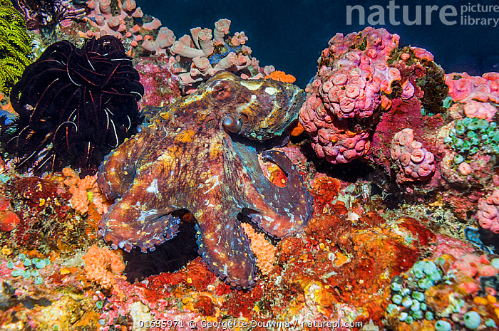 Very well camouflaged Day octopus (Octopus cyanea). West Papua, Indonesia.  ,  Animal,Wildlife,Mollusc,Cephalopod,Octopus,Common reef octopus,Animalia,Animal,Wildlife,Mollusca,Mollusc,Cephalopoda,Cephalopod,Octopoda,Octopus,Octopodidae,Octopus cyanea,Common reef octopus,Callistoctopus magnocellatus,octopus glaber,Octopus herdmani,Camouflage,Oceania,Melanesia,New Guinea,Tropical,Reef,Reefs,Coral Reef,Coral Reefs,Ocean,Marine,Underwater,Water,Indo Pacific,Saltwater,Indonesia,Catalogue13,Invertebrate,Invertebrates,Marine,Catalogue13  ,  Georgette Douwma