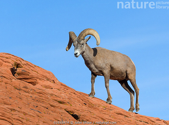Desert bighorn sheep ram (Ovis canadensis nelsoni) on sandsone wall. Valley of Fire State Park, Nevada, USA. February.  ,  Animal,Wildlife,Vertebrate,Mammal,Bovid,Sheep,Bighorn sheep,American,Animalia,Animal,Wildlife,Vertebrate,Mammalia,Mammal,Artiodactyla,Even-toed ungulates,Bovidae,Bovid,ruminantia,Ruminant,Ovis,Sheep,Ovis canadensis,Bighorn sheep,North America,USA,Western USA,Southwest USA,Nevada,Reserve,Protected area,State park,American,United States of America,  ,  John Shaw