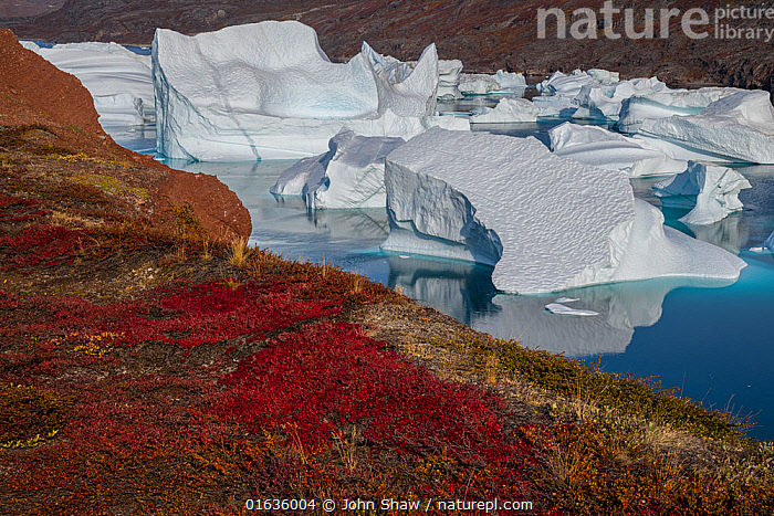 Icebergs and autumn tundra near Rode O (Red Island) in Rode Fjord (Red Fjord), Scoresby Sund, Greenland, August.  ,  Ice,Iceberg,Icebergs,Ocean,Arctic Ocean,Coast,Marine,Coastal,Water,Saltwater,Kalaallit Nunaat,Greenland Sea,Scoresby Sund,  ,  John Shaw