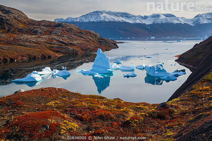 Icebergs and autumn tundra near Rode O (Red Island) in Rode Fjord (Red Fjord), Scoresby Sund, Greenland, August.  ,  Ice,Iceberg,Icebergs,Ocean,Arctic Ocean,Coast,Marine,Coastal,Water,Habitat,Saltwater,Kalaallit Nunaat,Greenland Sea,Scoresby Sund,Catalogue13,Catalogue13  ,  John Shaw