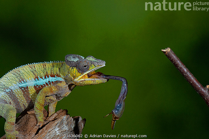 Panther chameleon (Furcifer pardalis) catching Locust with tongue. Controlled conditions.  ,  Animal,Wildlife,Vertebrate,Reptile,Squamate,Chameleon,Chameleons,Panther chameleon,Animalia,Animal,Wildlife,Vertebrate,Reptilia,Reptile,Squamata,Squamate,Chamaeleonidae,Chameleon,Lizard,Furcifer,Chameleons,Furcifer pardalis,Panther chameleon,Chamaeleo ater,Chamaeleo guentheri,Chamaeleo pardalis,Latin America,Central America,Costa Rica,Animal Behaviour,Feeding,Predation,Behaviour,Biodiversity hotspot,Behavioural,  ,  Adrian Davies