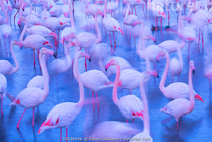 RF - Greater flamingo (Phoenicopterus roseus) flock blurred, Camargue, France., Animal,Wildlife,Vertebrate,Bird,Birds,Flamingo,Greater flamingo,Animalia,Animal,Wildlife,Vertebrate,Aves,Bird,Birds,Phoenicopteriformes,Flamingo,Phoenicopteridae,Phoenicopterus,Phoenicopterus roseus,Greater flamingo,Mood,Calm,Group Of Animals,Flock,Group,Europe,Western Europe,France,Bouches Du Rhone,Bouches-Du-Rhne,Bouches-Du-Rhone,Photographic Effect,Long Exposure,Nature,Arty shots,Camargue,RF,Royalty free,RF5,, Edwin Giesbers