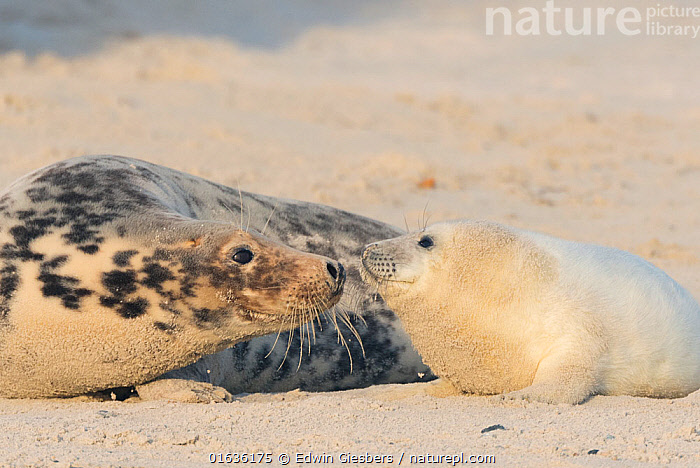 Grey seal (Halichoerus grypus), mother with pup, Heligoland, Germany., Animal,Wildlife,Vertebrate,Mammal,Carnivore,True seal,Gray Seal,Animalia,Animal,Wildlife,Vertebrate,Mammalia,Mammal,Carnivora,Carnivore,Phocidae,True seal,Pinnipeds,pinnipedia,Halichoerus,Halichoerus grypus,Gray Seal,Grey Seal,Europe,Western Europe,Germany,Young Animal,Baby,Baby Mammal,Pup,Pups,Coast,Coastal,Family,Mother baby,Mother,Parent baby,Hauled out,Marine,,Helgoland,, Edwin Giesbers
