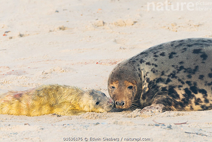 Grey seal (Halichoerus grypus), mother with newborn pup, Heligoland, Germany.  ,  Animal,Wildlife,Vertebrate,Mammal,Carnivore,True seal,Gray Seal,Animalia,Animal,Wildlife,Vertebrate,Mammalia,Mammal,Carnivora,Carnivore,Phocidae,True seal,Pinnipeds,pinnipedia,Halichoerus,Halichoerus grypus,Gray Seal,Grey Seal,Europe,Western Europe,Germany,Young Animal,Baby,Baby Mammal,Pup,Pups,Coast,Coastal,Family,Mother baby,Mother,Parent baby,Hauled out,Marine,,Helgoland,  ,  Edwin Giesbers