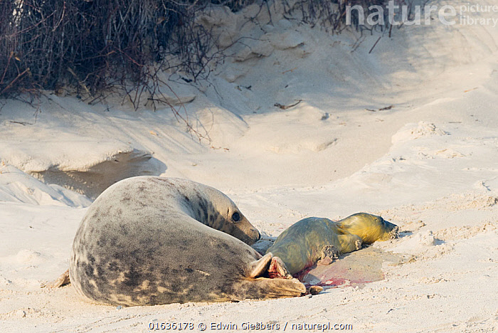 Grey seal (Halichoerus grypus),female giving birth, Heligoland, Germany., Animal,Wildlife,Vertebrate,Mammal,Carnivore,True seal,Gray Seal,Animalia,Animal,Wildlife,Vertebrate,Mammalia,Mammal,Carnivora,Carnivore,Phocidae,True seal,Pinnipeds,pinnipedia,Halichoerus,Halichoerus grypus,Gray Seal,Grey Seal,Europe,Western Europe,Germany,Coast,Coastal,Animal Behaviour,Reproduction,Birth,Behaviour,Hauled out,Behavioural,Marine,,Helgoland,, Edwin Giesbers