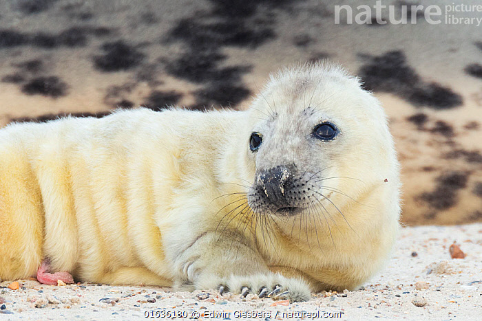 Grey seal (Halichoerus grypus), pup on beach, Heligoland, Germany., Animal,Wildlife,Vertebrate,Mammal,Carnivore,True seal,Gray Seal,Animalia,Animal,Wildlife,Vertebrate,Mammalia,Mammal,Carnivora,Carnivore,Phocidae,True seal,Pinnipeds,pinnipedia,Halichoerus,Halichoerus grypus,Gray Seal,Grey Seal,Cute,Adorable,Europe,Western Europe,Germany,Young Animal,Baby,Baby Mammal,Pup,Pups,Coast,Coastal,Hauled out,Marine,,Helgoland,, Edwin Giesbers