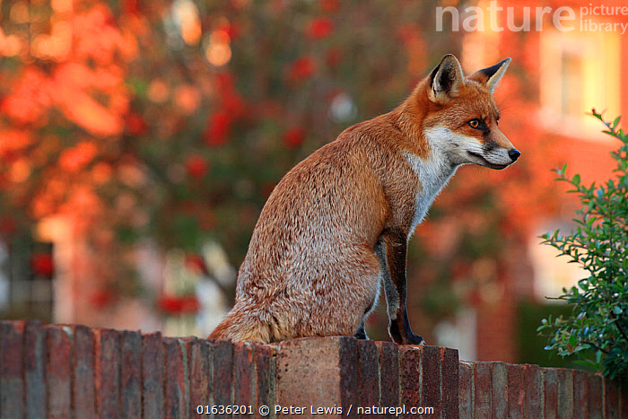 Red fox cub (Vulpes vulpes) on fence, Hampshire, England, UK, October., Animal,Wildlife,Vertebrate,Mammal,Carnivore,Canid,True fox,Red fox,Animalia,Animal,Wildlife,Vertebrate,Mammalia,Mammal,Carnivora,Carnivore,Canidae,Canid,Vulpes,True fox,Vulpini,Caninae,Vulpes vulpes,Red fox,Europe,Western Europe,UK,Great Britain,England,Hampshire,Boundary,Fence,, Peter Lewis