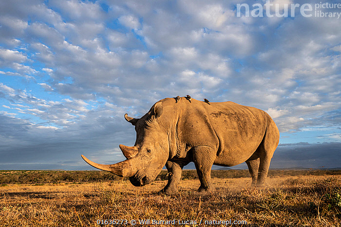 White rhino (Ceratotherium simum), portrait. Solio Game Reserve, Solio Ranch, Kenya. Taken with remote camera buggy / BeetleCam.  ,  Animal,Wildlife,Vertebrate,Bird,Birds,Songbird,Oxpecker,Mammal,Odd toed ungulate,Rhinoceros,White Rhinoceros,Animalia,Animal,Wildlife,Vertebrate,Aves,Bird,Birds,Passeriformes,Songbird,Passerine,Buphagidae,Oxpecker,Mammalia,Mammal,Perissodactyla,Odd toed ungulate,Rhinocerotidae,Rhinoceros,Rhino,Ceratotherium,Ceratotherium simum,Square-lipped Rhinoceros,Africa,East Africa,Kenya,Low Angle View,Sky,Savanna,Reserve,White Rhinoceros,Protected area,Critically endangered,Endangered species,Threatened  ,  Will Burrard-Lucas