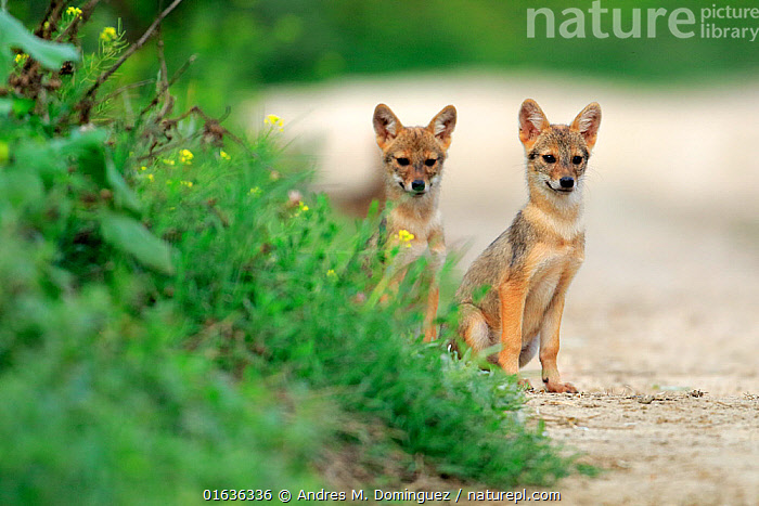 Two Golden jackal (Canis aureus) pups sitting on a path by a grassy verge, Danube Delta, Romania, July.  ,  Animal,Wildlife,Vertebrate,Mammal,Carnivore,Canid,Asiatic Jackal,Animalia,Animal,Wildlife,Vertebrate,Mammalia,Mammal,Carnivora,Carnivore,Canidae,Canid,Canis,Canis aureus,Asiatic Jackal,Common Jackal,Golden Jackal,Sitting,Alertness,Curiosity,Two,July,Europe,Eastern Europe,East Europe,Romania,Young Animal,Baby,Baby Mammal,Pup,Pups,Path,Summer,  ,  Andres M. Dominguez