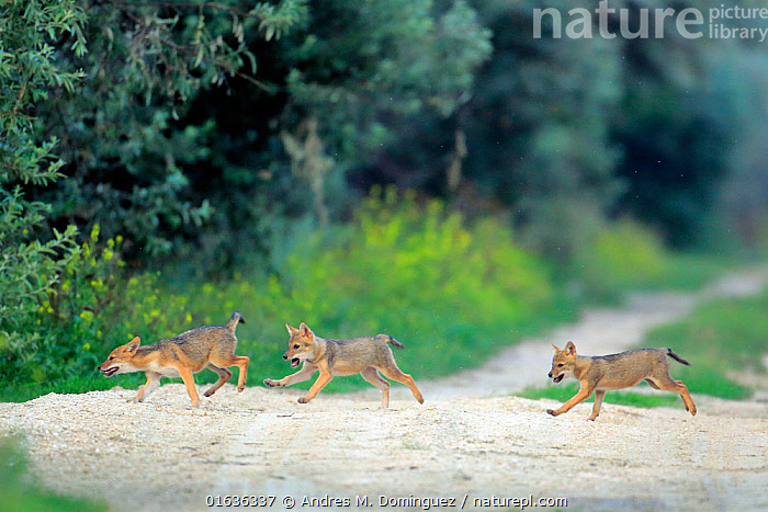 Three juvenile Golden jackal (Canis aureus) pups running across a path, Danube Delta, Romania, July.  ,  Animal,Wildlife,Vertebrate,Mammal,Carnivore,Canid,Asiatic Jackal,Catalogue13,Animalia,Animal,Wildlife,Vertebrate,Mammalia,Mammal,Carnivora,Carnivore,Canidae,Canid,Canis,Canis aureus,Asiatic Jackal,Common Jackal,Golden Jackal,Running,Few,Three,Group,July,Europe,Eastern Europe,East Europe,Romania,Side View,Young Animal,Baby,Baby Mammal,Pup,Pups,Path,Summer,Animal Behaviour,Playing,Moving,Movement,Catalogue13,Animals,Vertebrates,Chordates,Mammals,Carnivores,Canids,Groups,Juveniles,Young Animals,Baby Animals,Footpaths,Paths,Trails,Plays,Babies,Animal,Wildlife,Vertebrate,Mammal,Carnivore,Canid,Asiatic Jackal  ,  Andres M. Dominguez