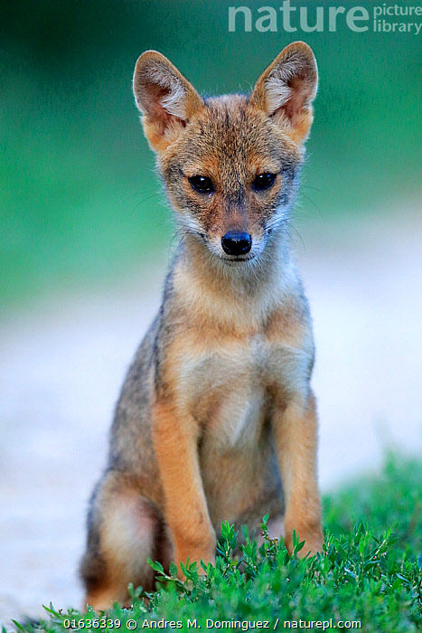 Golden jackal (Canis aureus) pup sitting on a grassy verge by a path, Danube Delta, Romania, July.  ,  Animal,Wildlife,Vertebrate,Mammal,Carnivore,Canid,Asiatic Jackal,Catalogue13,Animalia,Animal,Wildlife,Vertebrate,Mammalia,Mammal,Carnivora,Carnivore,Canidae,Canid,Canis,Canis aureus,Asiatic Jackal,Common Jackal,Golden Jackal,Sitting,Cute,Adorable,July,Europe,Eastern Europe,East Europe,Romania,Portrait,Young Animal,Baby,Baby Mammal,Pup,Pups,Path,Summer,Direct Gaze,Catalogue13,Animals,Vertebrates,Chordates,Mammals,Carnivores,Canids,Portraits,Juveniles,Young Animals,Baby Animals,Footpaths,Paths,Trails,Babies,Animal,Wildlife,Vertebrate,Mammal,Carnivore,Canid,Asiatic Jackal  ,  Andres M. Dominguez