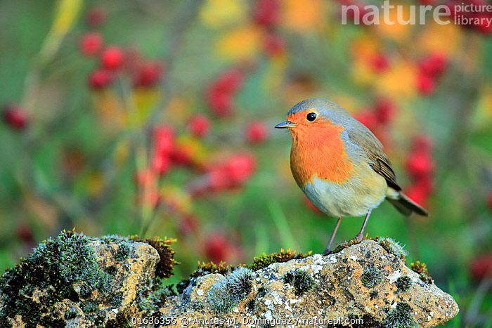 European Robin (Erithacus rubecula) portrait, Grazalema, southern Spain, December.  ,  Animal,Wildlife,Vertebrate,Bird,Birds,Songbird,Old world flycatcher,Robin,Animalia,Animal,Wildlife,Vertebrate,Aves,Bird,Birds,Passeriformes,Songbird,Passerine,Muscicapidae,Old world flycatcher,Flycatcher,Erithacus,Erithacus rubecula,Robin,European robin,Europe,Southern Europe,Spain,Andalusia,Cadiz,Portrait,  ,  Andres M. Dominguez