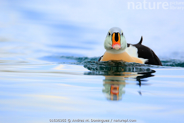 Adult male King Eider (Somateria spectabilis).Batsfjord, Norway, March., Animal,Wildlife,Vertebrate,Bird,Birds,Water fowl,Waterfowl,King eider,Seaduck,Animalia,Animal,Wildlife,Vertebrate,Aves,Bird,Birds,Anseriformes,Water fowl,Galloanserans,Waterfowl,Anatidae,Somateria,Somateria spectabilis,King eider,Swimming,Colour,Colourful,Europe,Northern Europe,North Europe,Nordic Countries,Scandinavia,Norway,Copy Space,Front View,Male Animal,Fjord,Fjords,Winter,Water Surface,Water,Direct Gaze,Negative space,Facing,Finnmark,Batsfjord,Seaduck,Wildfowl,Duck,Ducks, Andres M. Dominguez