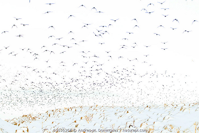Guillemots (Uria aalge) in flight over snow, Vardo, Norway, March.  ,  Animal,Wildlife,Vertebrate,Bird,Birds,Auk,Murre,Common guillemot,Animalia,Animal,Wildlife,Vertebrate,Aves,Bird,Birds,Charadriiformes,Alcidae,Auk,Seabird,Uria,Murre,Uria aalge,Common guillemot,Guillemot,Thin billed murre,Common murre,Flying,Colour,White,Group Of Animals,Flock,Group,Europe,Northern Europe,North Europe,Nordic Countries,Scandinavia,Norway,Sparse,Open Space,Open Spaces,Spacious,Snow,Arty shots,Vardo,Seabird,Seabirds  ,  Andres M. Dominguez