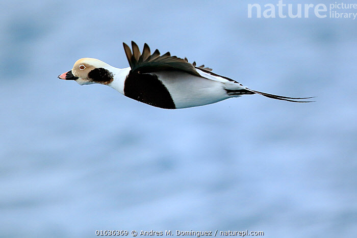 Male Long-tailed duck (Clangula hyemalis) in flight, Batsfjord, Norway, March., Animal,Wildlife,Vertebrate,Bird,Birds,Water fowl,Waterfowl,Long tailed duck,Animalia,Animal,Wildlife,Vertebrate,Aves,Bird,Birds,Anseriformes,Water fowl,Galloanserans,Waterfowl,Anatidae,Clangula,Clangula hyemalis,Long tailed duck,Oldsquaw,Flying,Europe,Northern Europe,North Europe,Nordic Countries,Scandinavia,Norway,Cutout,Side View,Male Animal,Fjord,Fjords,Water,Finnmark,Batsfjord,Wildfowl,Duck,Ducks,Endangered species,threatened,Vulnerable, Andres M. Dominguez
