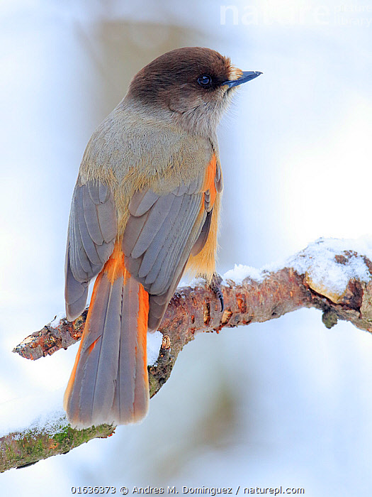 Siberian jay (Perisoreus infaustus) Ivalo, Finland. March, Animal,Wildlife,Vertebrate,Bird,Birds,Songbird,Siberian jay,Animalia,Animal,Wildlife,Vertebrate,Aves,Bird,Birds,Passeriformes,Songbird,Passerine,Corvidae,Corvid,Perisoreus,Perisoreus infaustus,Siberian jay,Corvus infaustus,Europe,Northern Europe,North Europe,Nordic Countries,Finland,Rear View,Snow,Winter,Ivalo,, Andres M. Dominguez