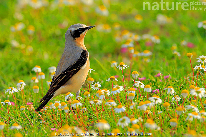 Northern wheatear (Oenanthe oenanthe) Arcos de la Frontera, southern Spain. April  ,  Animal,Wildlife,Vertebrate,Bird,Birds,Songbird,Old world flycatcher,Wheatear,Animalia,Animal,Wildlife,Vertebrate,Aves,Bird,Birds,Passeriformes,Songbird,Passerine,Muscicapidae,Old world flycatcher,Flycatcher,Oenanthe,Wheatear,Chat,Chat thrush,Saxicolinae,Oenanthe oenanthe,Northern wheatear,Alertness,Europe,Southern Europe,Spain,Side View,Plant,Flower,  ,  Andres M. Dominguez