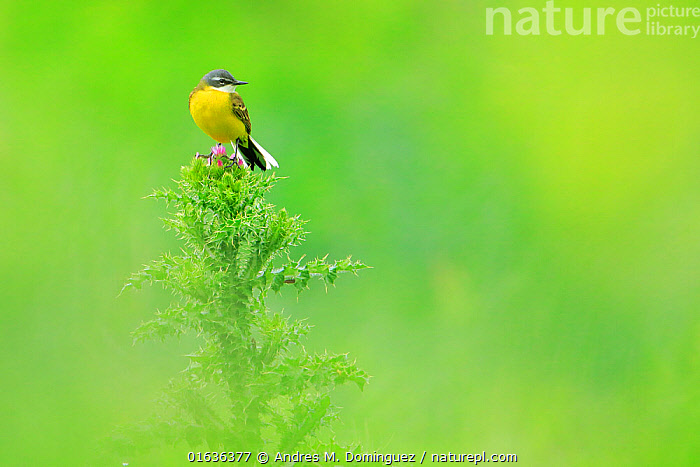Western yellow wagtail (Motacilla flava) perched on thistle, Andalusia. Spain. April, Animal,Wildlife,Vertebrate,Bird,Birds,Songbird,Wagtail,Yellow wagtail,Animalia,Animal,Wildlife,Vertebrate,Aves,Bird,Birds,Passeriformes,Songbird,Passerine,Motacillidae,Motacilla,Wagtail,Motacilla flava,Yellow wagtail,Colour,Green,Yellow,Vibrant Colour,Europe,Southern Europe,Spain,Andalusia,Copy Space,Cutout,Profile,Side View,Portrait,Plant,Sunflower Family,Thistle,Thistles,Negative space,, Andres M. Dominguez