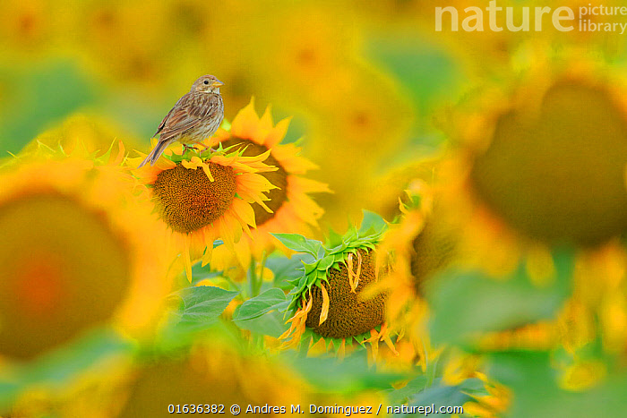 Corn bunting (Emberiza calandra) perched on sunflower, Arcos de la Frontera. Southern Spain. June.  ,  Animal,Wildlife,Vertebrate,Bird,Birds,Songbird,Bunting,Corn bunting,Animalia,Animal,Wildlife,Vertebrate,Aves,Bird,Birds,Passeriformes,Songbird,Passerine,Emberizidae,Bunting,New world sparrow,Emberiza,Emberiza calandra,Corn bunting,Common bunting,Miliaria calandra,Colour,Yellow,Europe,Southern Europe,Spain,Plant,Flower,Sunflower Family,Sunflower,Sunflowers,Agricultural Land,Cultivated Land,Field,Farmland,  ,  Andres M. Dominguez