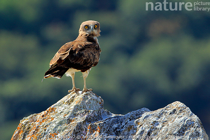 Short-toed eagle (Circaetus gallicus) on rock in the Sierra de Grazalema Natural Park. Spain. July  ,  Animal,Wildlife,Vertebrate,Bird,Birds,Snake eagle,Short toed eagle,Animalia,Animal,Wildlife,Vertebrate,Aves,Bird,Birds,Accipitriformes,Accipitridae,Circaetus,Snake eagle,Eagle,Bird of prey,Raptor,Circaetus gallicus,Short toed eagle,Short toed snake eagle,Humorous,July,Facial Expression,Europe,Southern Europe,Spain,Andalusia,Cadiz,Summer,Reserve,Protected area,Natural Park,Birds of Prey,  ,  Andres M. Dominguez