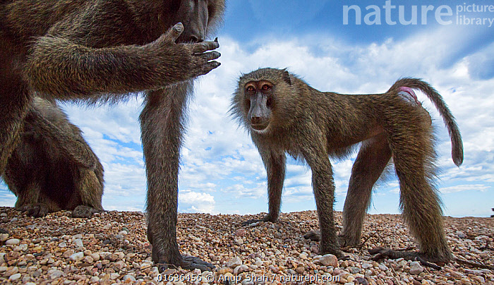 Olive baboons (Papio anubis) standing on the lake shore. Gombe National Park, Tanzania., Animal,Wildlife,Vertebrate,Mammal,Monkey,Baboon,Olive Baboon,Animalia,Animal,Wildlife,Vertebrate,Mammalia,Mammal,Primate,Primates,Cercopithecidae,Monkey,Old World Monkeys,Papio,Baboon,Papionini,Papio anubis,Olive Baboon,Anubis Baboon,Papio choras,Papio doguera,Papio furax,Curiosity,Two,Africa,East Africa,Tanzania,Low Angle View,Animal Hands,Hand,Hands,Sky,Cloud,Water,Reserve,Protected area,National Park,Lakeside,Gombe National Park,Catalogue13,Catalogue13, Anup Shah