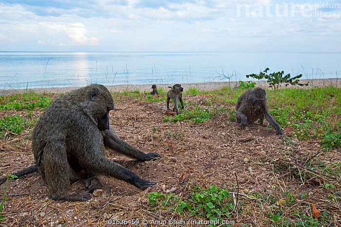 Olive baboons digging in soil for the roots of sedges. Gombe National Park, Tanzania.  ,  Animal,Wildlife,Vertebrate,Mammal,Monkey,Baboon,Olive Baboon,Animalia,Animal,Wildlife,Vertebrate,Mammalia,Mammal,Primate,Primates,Cercopithecidae,Monkey,Old World Monkeys,Papio,Baboon,Papionini,Papio anubis,Olive Baboon,Anubis Baboon,Papio choras,Papio doguera,Papio furax,Africa,East Africa,Tanzania,Reserve,Protected area,National Park,Gombe National Park,  ,  Anup Shah