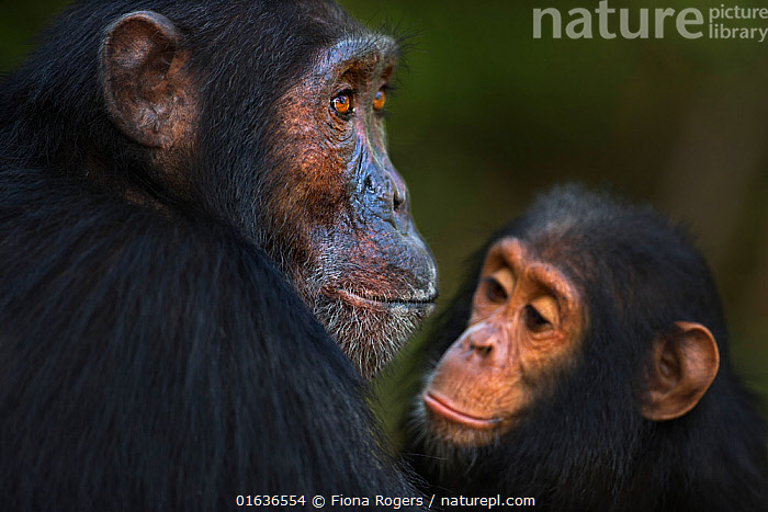 Eastern chimpanzee (Pan troglodytes schweinfurtheii) male 'Sampson' aged 18 years watched by infant male 'Gizmo' aged 4 years . Gombe National Park, Tanzania. May 2014., Animal,Wildlife,Vertebrate,Mammal,Ape,Great ape,Chimpanzee,Eastern chimpanzee,Animalia,Animal,Wildlife,Vertebrate,Mammalia,Mammal,Primate,Primates,Hominidae,Ape,Great ape,Hominoidea,Pan,Pan troglodytes,Chimpanzee,Common Chimpanzee,Africa,East Africa,Tanzania,Young Animal,Baby,Male Animal,Reserve,Eastern chimpanzee,Protected area,National Park,Gombe National Park,Gombe Stream National Park,Endangered species,Endangered,Threatened, Fiona Rogers