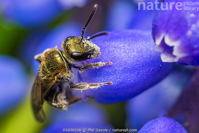 Smeathman's furrow bee (Lasioglossum smeathmanellum) visiting Grape hyacinth (Muscari sp.). At 4.5 mm average size, this is one of the smallest bees in the UK, small enough to crawl inside a Grape Hyacinth flower globe to feed and collect pollen. Monmouthshire Wales UK, March., Plant,Vascular plant,Flowering plant,Monocot,Grape hyacinth,Animal,Wildlife,Arthropod,Insect,Sweat bee,Solitary bee,Smeathman's Furrow Bee,Plantae,Plant,Tracheophyta,Vascular plant,Magnoliopsida,Flowering plant,Angiosperm,Seed plant,Spermatophyte,Spermatophytina,Angiospermae,Asparagales,Monocot,Monocotyledon,Lilianae,Asparagaceae,Muscari,Grape hyacinth,Grapehyacinth,Animalia,Animal,Wildlife,Hexapoda,Arthropod,Invertebrate,Hexapod,Arthropoda,Insecta,Insect,Hymenoptera,Halictidae,Sweat bee,Bee,Halictid bee,Apoidea,Apocrita,Lasioglossum,Halictinae,Pollination,Colour,Purple,Size,Small,Europe,Western Europe,UK,Great Britain,Wales,Flower,Feeding,Monmouthshire,Solitary bee,Lasioglossum smeathmanellum,Smeathman's Furrow Bee,, Phil Savoie