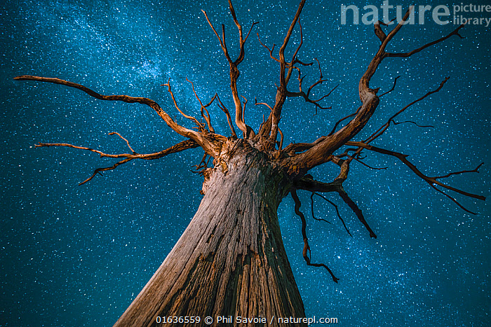 Milky Way over an English oak tree (Quercus robur), at night, Brecon Beacons National Park International Dark Sky Preserve, Wales UK, December, Plant,Vascular plant,Flowering plant,Rosid,Oak,Pedunculate oak,Plantae,Plant,Tracheophyta,Vascular plant,Magnoliopsida,Flowering plant,Angiosperm,Seed plant,Spermatophyte,Spermatophytina,Angiospermae,Fagales,Rosid,Dicot,Dicotyledon,Rosanae,Fagaceae,Quercus,Oak,Oak tree,Quercus robur,Pedunculate oak,English oak tree,French oak,Quercus pedunculata,Quercus longaeva,Europe,Western Europe,UK,Great Britain,Wales,Low Angle View,Branch,Branches,Tree,Outer Space,The Universe,Galaxy,Galaxies,Stars,Sky,Night,Reserve,Protected area,Milkyway,Brecon Beacons National Park,Astrophography,Dark sky reserve,Tree,Trees, Phil Savoie