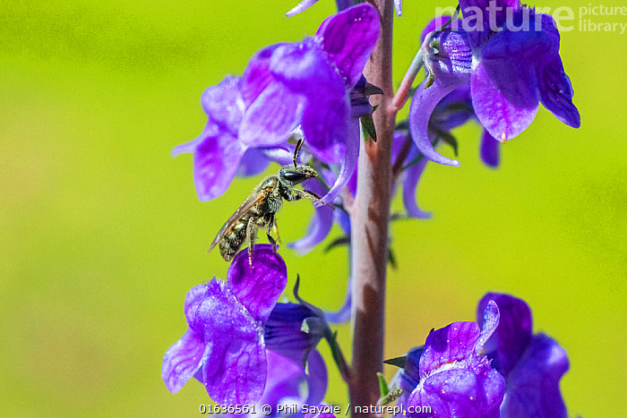 Smeathman's furrow bee (Lasioglossum smeathmanellum) visiting Purple Toadflax (Linaria purpurea). At 4.5 mm average size, this is one of the smallest bees in the UK, Monmouthshire Wales, July., Plant,Vascular plant,Flowering plant,Asterid,Plantain,Toadflax,Animal,Wildlife,Arthropod,Insect,Sweat bee,Purple toadflax,Solitary bee,Smeathman's Furrow Bee,Plantae,Plant,Tracheophyta,Vascular plant,Magnoliopsida,Flowering plant,Angiosperm,Seed plant,Spermatophyte,Spermatophytina,Angiospermae,Lamiales,Asterid,Dicot,Dicotyledon,Asteranae,Plantaginaceae,Plantain,Linaria,Toadflax,Animalia,Animal,Wildlife,Hexapoda,Arthropod,Invertebrate,Hexapod,Arthropoda,Insecta,Insect,Hymenoptera,Halictidae,Sweat bee,Bee,Halictid bee,Apoidea,Apocrita,Lasioglossum,Halictinae,Pollination,Colour,Purple,Size,Small,Europe,Western Europe,UK,Great Britain,Wales,Feeding,Monmouthshire,Linaria purpurea,Purple toadflax,Solitary bee,Lasioglossum smeathmanellum,Smeathman's Furrow Bee,, Phil Savoie
