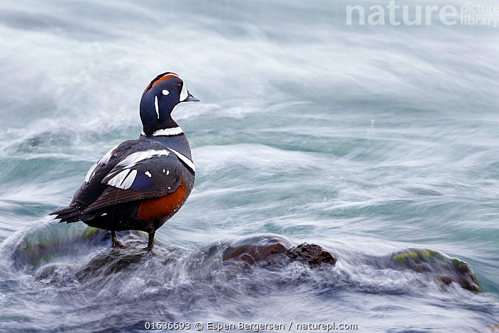 Harlequin duck (Histrionicus histrionicus) in river stream. Myvatn, Iceland. May., Animal,Wildlife,Vertebrate,Bird,Birds,Water fowl,Waterfowl,Harlequin duck,Animalia,Animal,Wildlife,Vertebrate,Aves,Bird,Birds,Anseriformes,Water fowl,Galloanserans,Waterfowl,Anatidae,Histrionicus,Histrionicus histrionicus,Harlequin duck,Europe,Northern Europe,North Europe,Nordic Countries,Scandinavia,Iceland,Wildfowl, Espen Bergersen